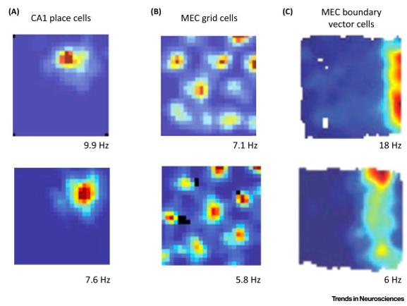 Активация нейронов места, координатных нейронов и нейронов границ (Sanders et al. 2015)