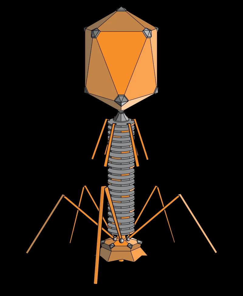 Структура типичного миовируса бактериофага