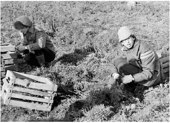 Студенты науборке урожая совхоза «Ручьи» в1979 году