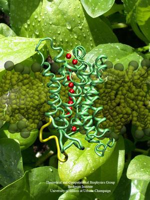 Шпинатный аквапорин, мембранный белок, который проводит воду, один из многих мембранных белков, которыми Клаус Шультен занимался в своей карьере.