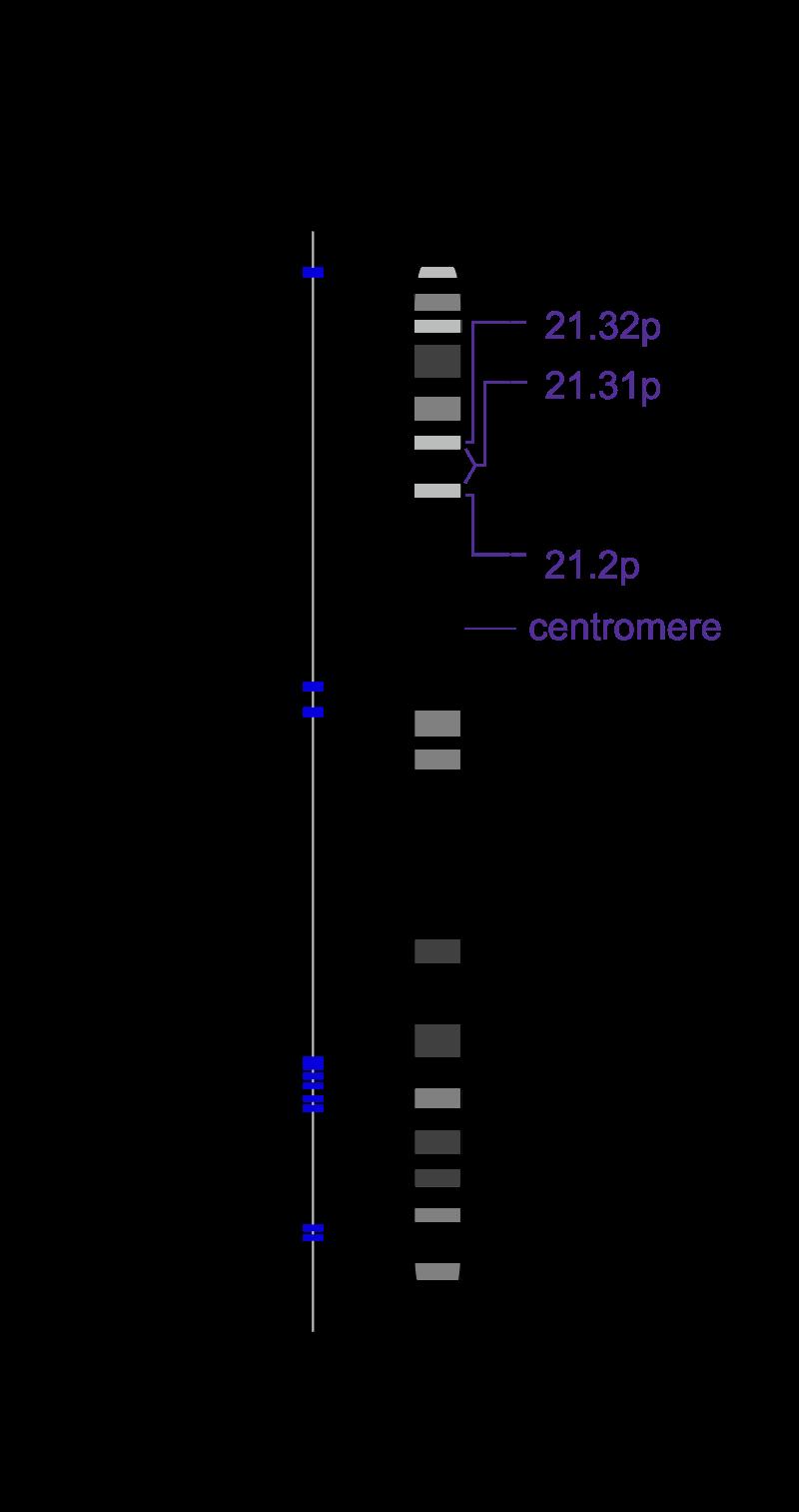Рисунок 5. Расположение HLA-участков на шестой хромосоме у человека
