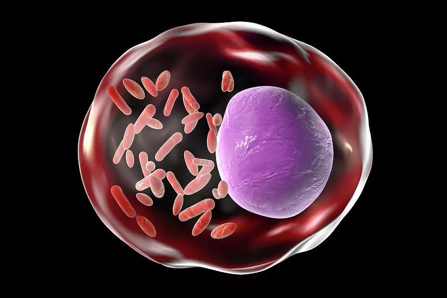 Rickettsia prowazekii в клетке