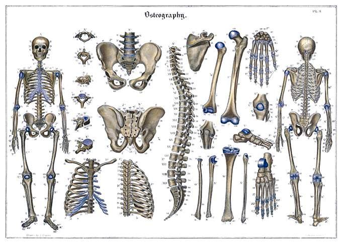 Автор J. Bisbee, книга Systematized anatomy, or Human organography, год публикации 1837