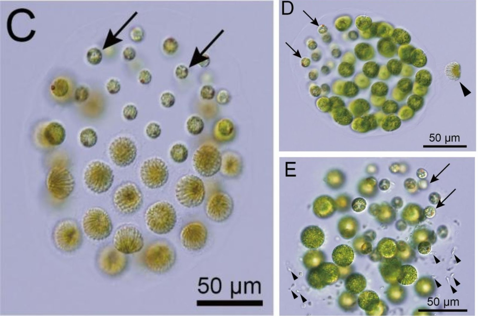 С — мужская колония водорослей. D — женская колония и приближающаяся к ней мужская клетка. E — женская колония с гермафродитами.