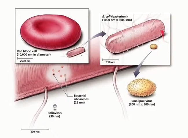 Сравнение размеров человеческого эритроцита и бактерии кишечной палочки (E. coli) c вирусами оспы (Smallpox) и полиомиелита (Poliovirus)