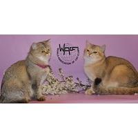 Логотип компании «Питомник британских короткошерстных кошек Silver Toy*Ru»
