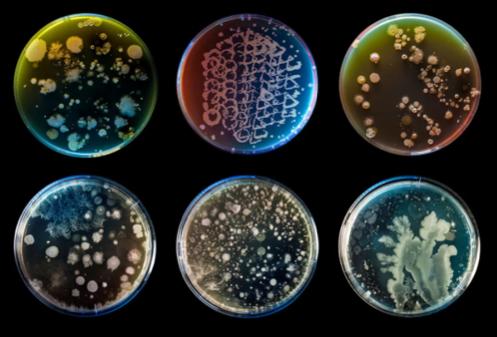 Посевы на питательных средах чистых культур и комплексного сообщества бактерий, которые входят в состав Marvel Organics