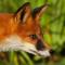 FoxisII