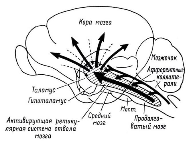 Проекция информации на кору