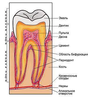 Зуб и окружающие его ткани.