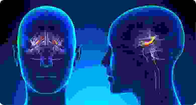 Расположение гиппокампа в человеческом мозге