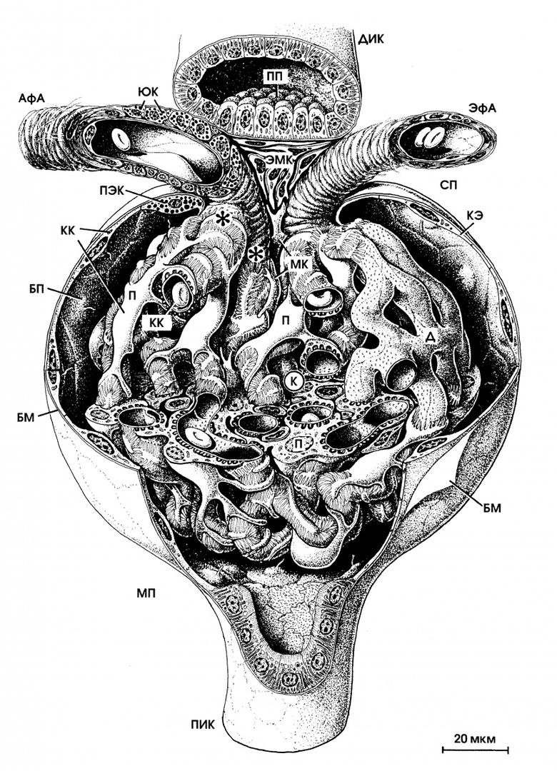 Мальпигиев клюбочек