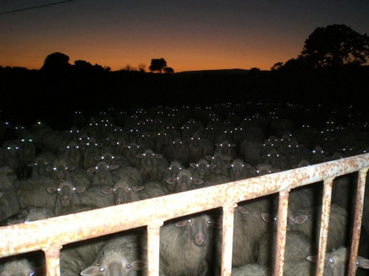 [Sheeple]