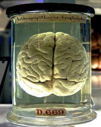 Мозг шимпанзе в лондонском музее науки