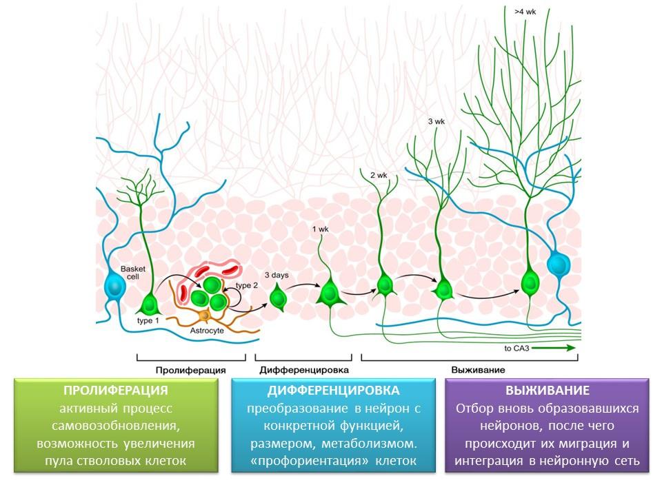 Деревенские, вещества усиливающие синаптогенез