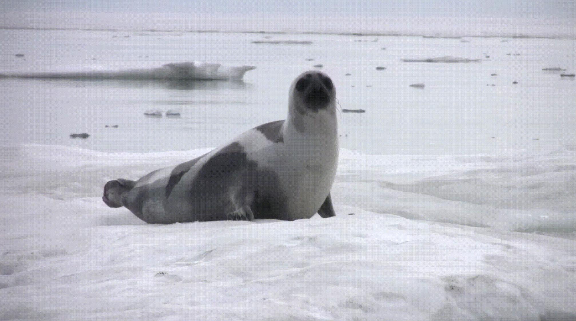 ИИ защитит тюленей и белух