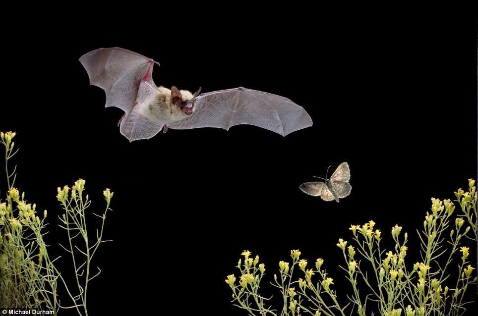 Слух летучих мышей
