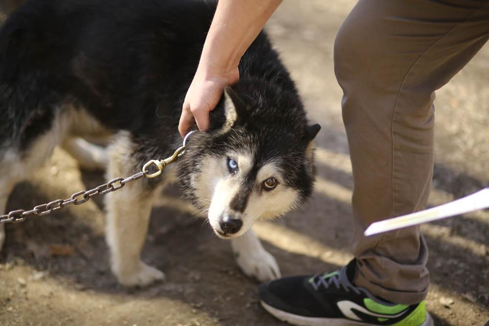 Ездовые собаки: что нужно про них знать, и как их выводили