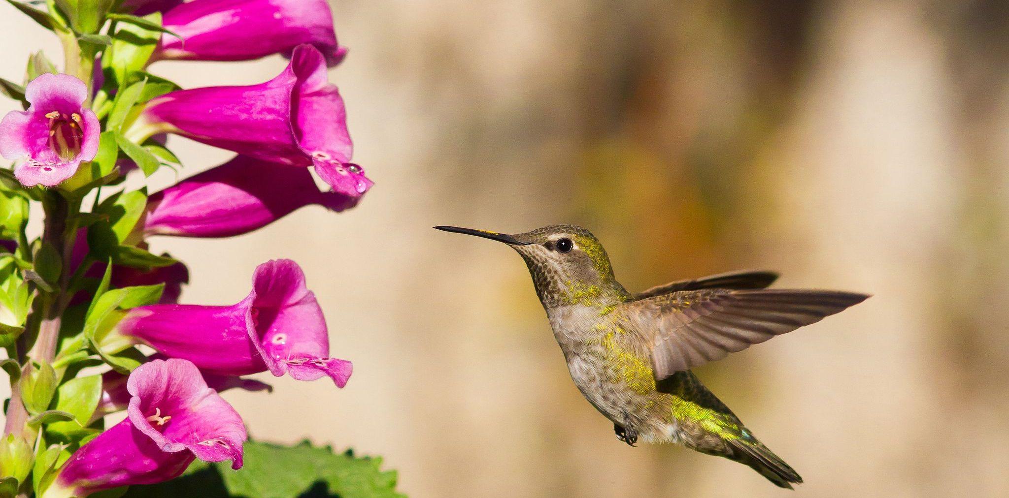 Вынужденный экспресс-курс эволюции: дигиталис и колибри