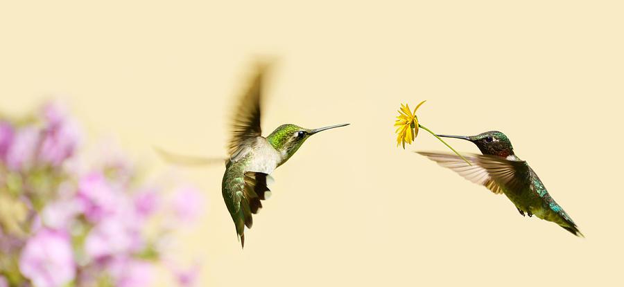 Быстрее, громче, ярче: физика брачных «танцев» колибри