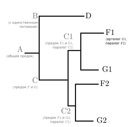 Дерево, осложнённое одной дупликацией и одной делецией