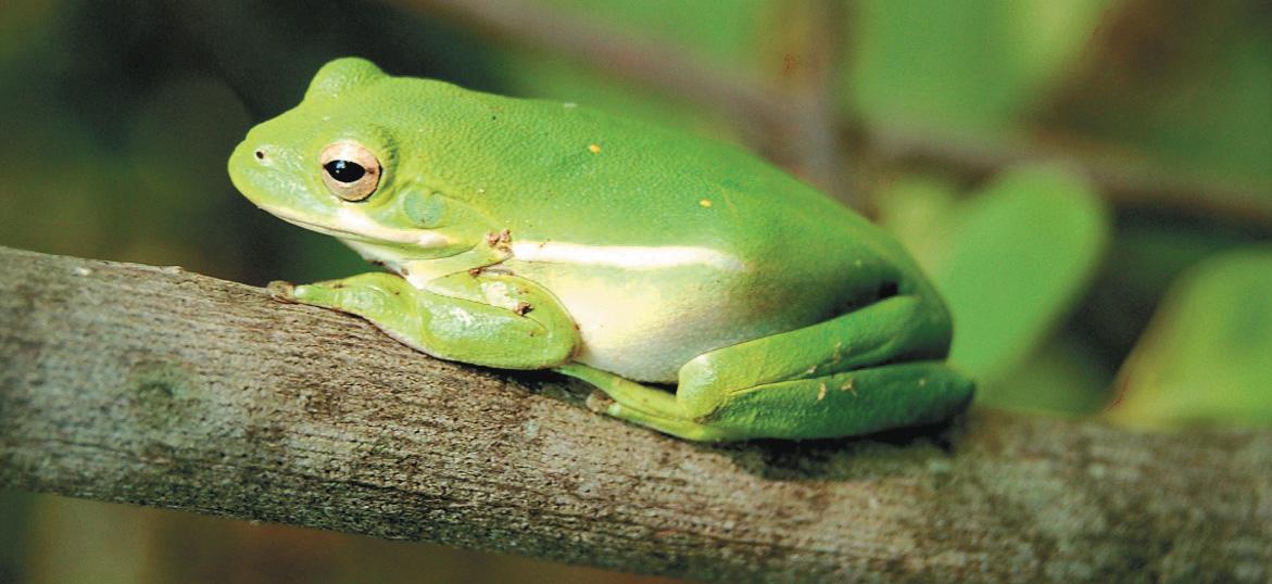 Бактериальный дезодорант: симбиотическая связь между древесными лягушками и бактериями Pseudomonas