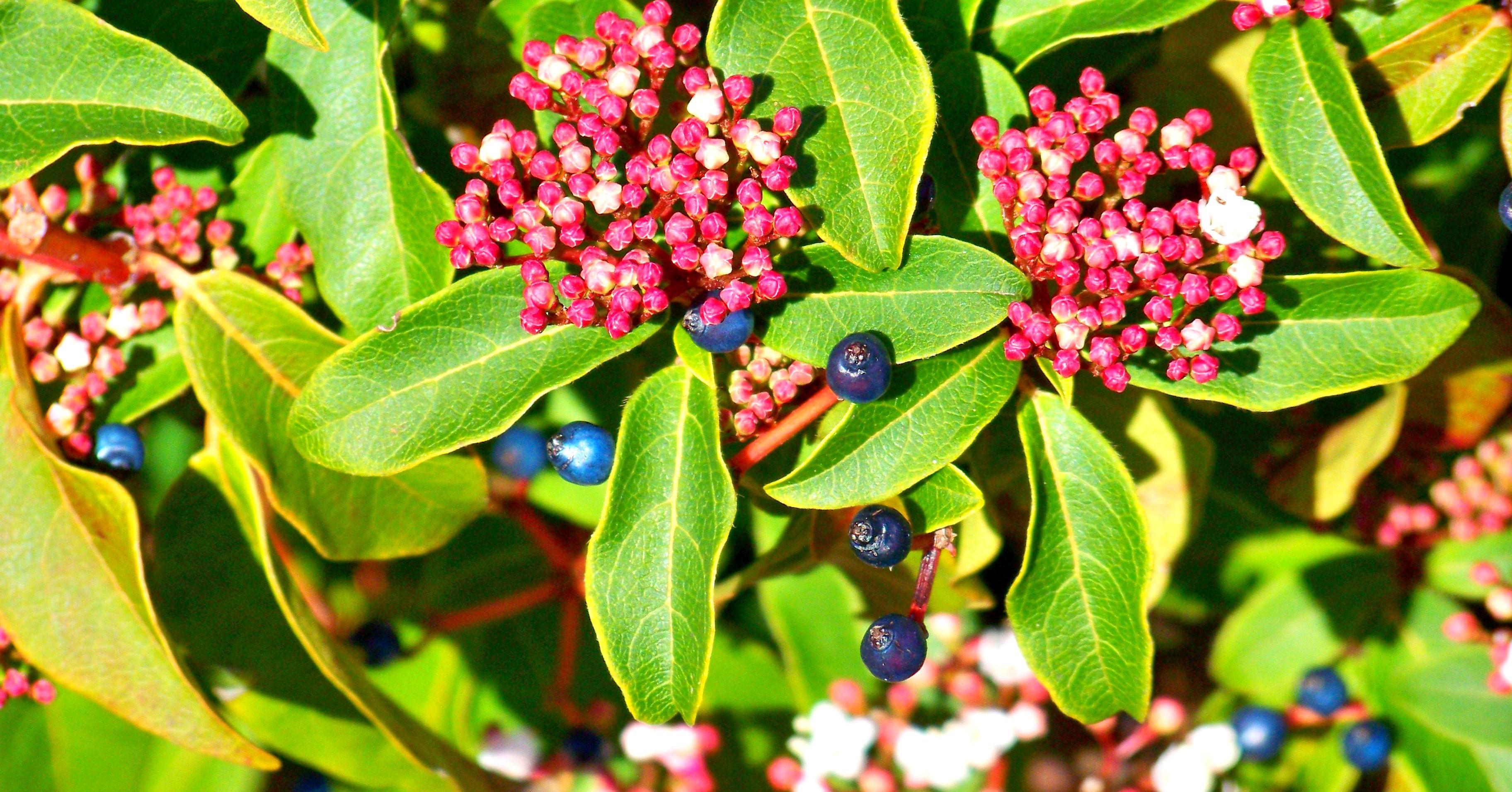 Оптика в ботанике структурный цвет ягод калины тинус