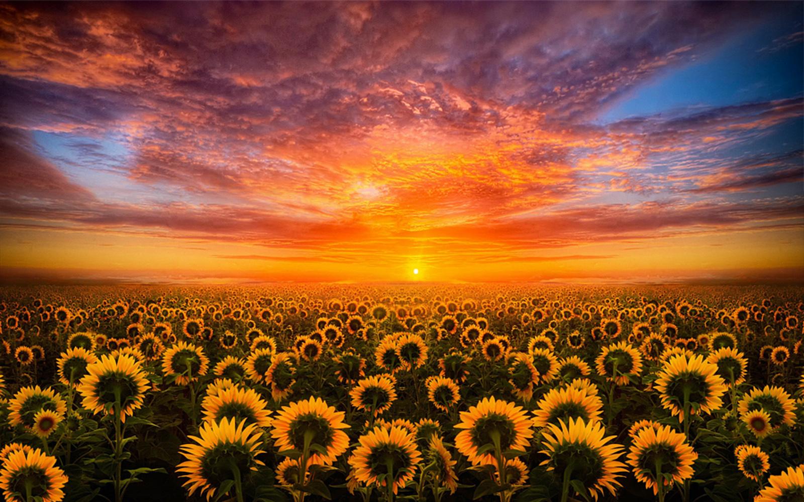 Обнимающий солнце: подсолнухи вместо опиоидов