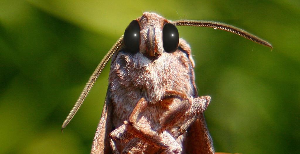 Звуковая диверсия: механизм генерации ультразвуковых щелчков у ночных мотыльков как защита от летучих мышей