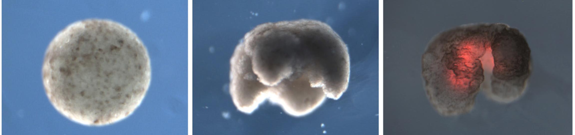 Ксеноботы: живые нанороботы из клеток лягушки