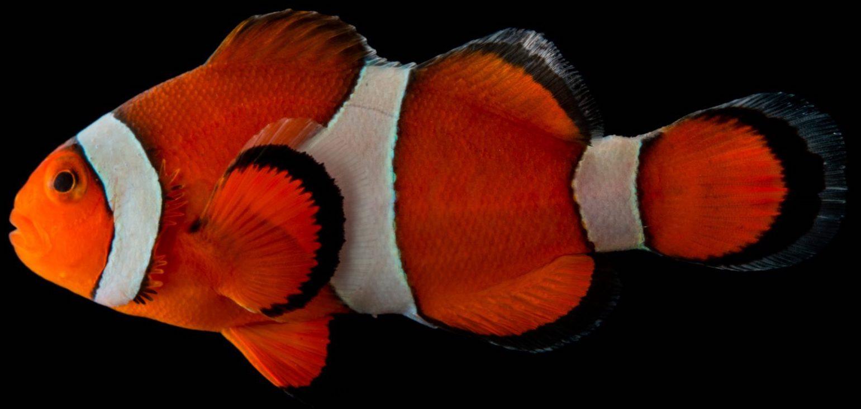 Откуда у рыб-клоунов белые полосы на теле?