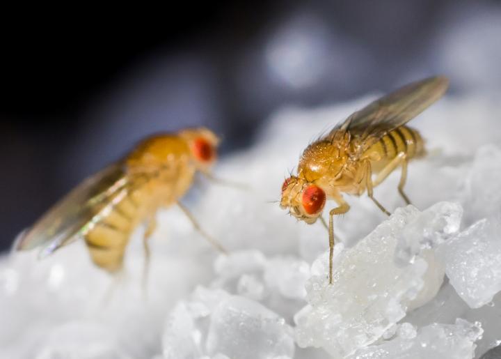 Мухи в холодильнике криоконсервация эмбрионов плодовой мушки