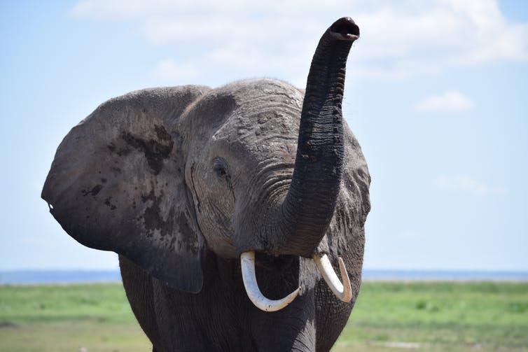 Хотя браконьерство представляет огромную угрозу для слонов, дробление среды их обитания обсуждается реже