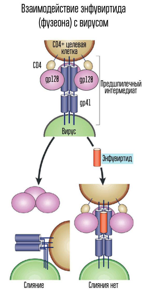 Вирусы занимают положение между