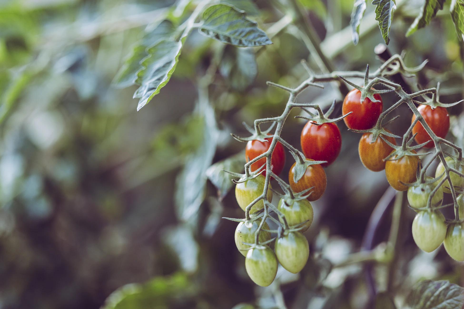 Серверы ЦОД согреют помидоры в Нидерландах