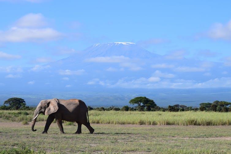 В Амбосели, национальный парк Кении, слоны разделяют более 80% своего поголовья с домашним скотом и посевами фермеров