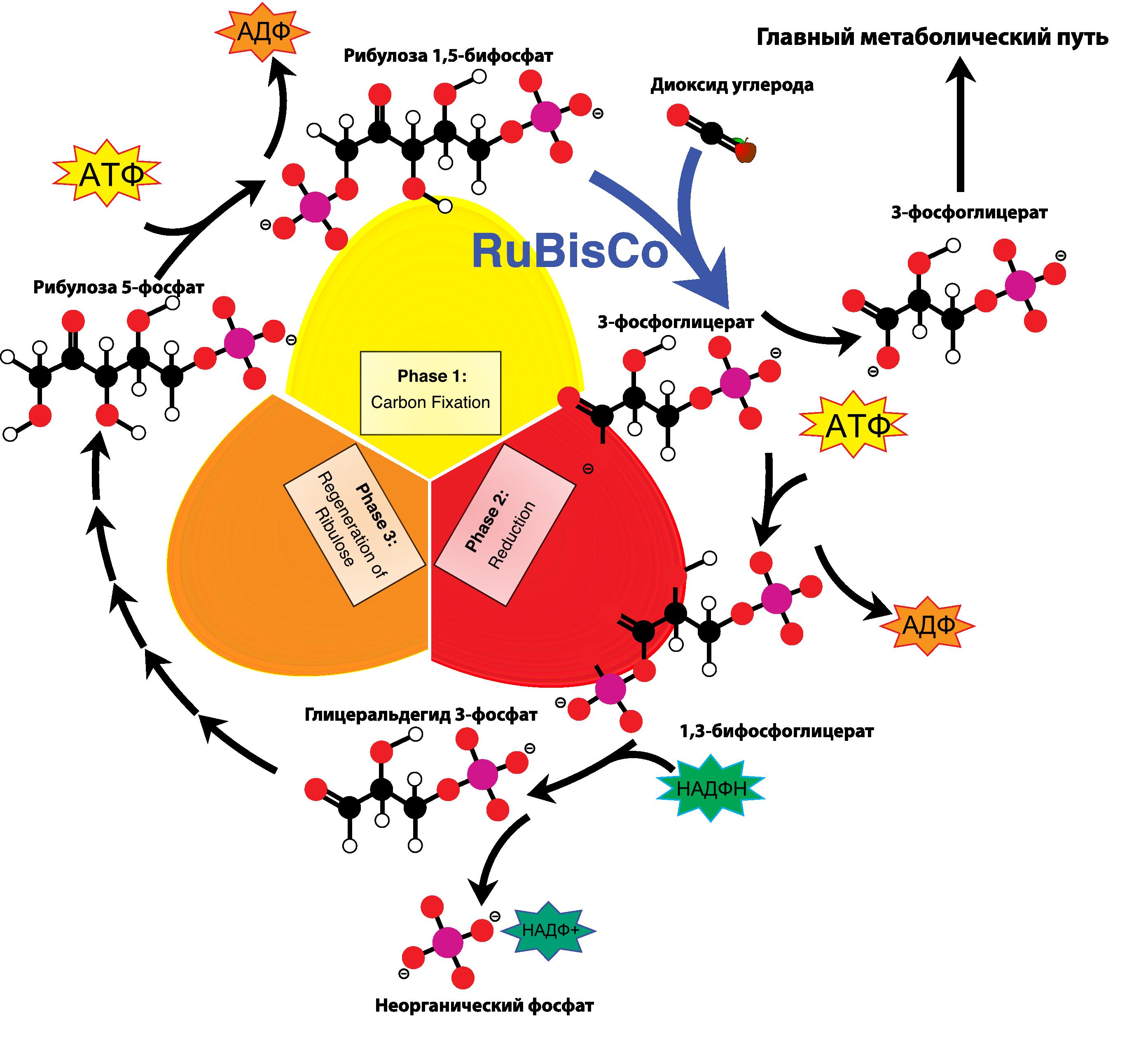 Цепочка органических реакции (Цикл Кальвина)