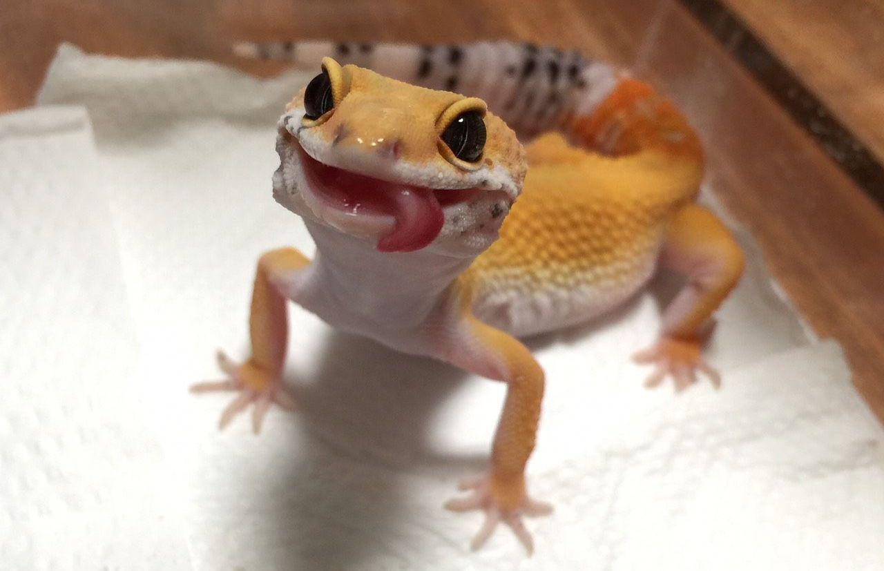 Run, Gecko, run: гибридный механизм движения по воде у гекконов