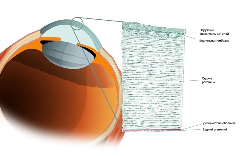 The structure of the cornea of the human eye
